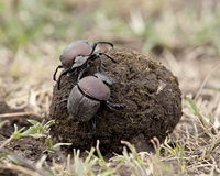 Two dung beetles atop a ball of dung, Serengeti National Park, Tanzania, East Africa, Africa 20025368606| 写真素材・ストックフォト・画像・イラスト素材|アマナイメージズ