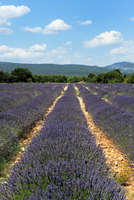 Lavender fields around Roussillon, Parc Naturel Regional du Luberon, Vaucluse, Provence, France, Europe 20025368989| 写真素材・ストックフォト・画像・イラスト素材|アマナイメージズ