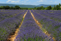 Lavender fields around Roussillon, Parc Naturel Regional du Luberon, Vaucluse, Provence, France, Europe 20025368990| 写真素材・ストックフォト・画像・イラスト素材|アマナイメージズ