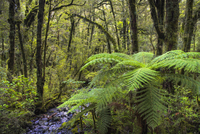 Temperate rainforest in Fiordland National Park, UNESCO World Heritage Site, South Island, New Zealand, Pacific 20025369220| 写真素材・ストックフォト・画像・イラスト素材|アマナイメージズ