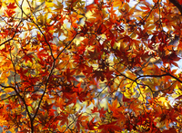 Canopy of acer leaves in autumn, North Yorkshire, Yorkshire, England, United Kingdom, Europe 20025370414| 写真素材・ストックフォト・画像・イラスト素材|アマナイメージズ