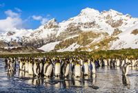 King penguins (Aptenodytes patagonicus), Peggoty Bluff, South Georgia Island, South Atlantic Ocean, Polar Regions 20025376443| 写真素材・ストックフォト・画像・イラスト素材|アマナイメージズ