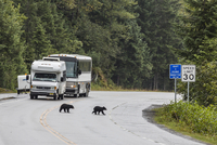 American black bear (Ursus americanus) COY (cubs of year), on the road to Mendenhall Glacier, Southeast Alaska, United States of 20025376562| 写真素材・ストックフォト・画像・イラスト素材|アマナイメージズ