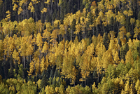 Yellow and orange aspens among evergreens in the fall, Uncompahgre National Forest, Colorado, United States of America, North Am 20025376929| 写真素材・ストックフォト・画像・イラスト素材|アマナイメージズ