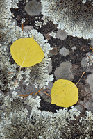 Yellow aspen leaves on a lichen-covered rock in the fall, Uncompahgre National Forest, Colorado, United States of America, North 20025376934| 写真素材・ストックフォト・画像・イラスト素材|アマナイメージズ