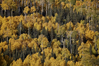 Yellow aspens among evergreens in the fall, Uncompahgre National Forest, Colorado, United States of America, North America 20025376935| 写真素材・ストックフォト・画像・イラスト素材|アマナイメージズ