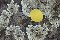 Yellow aspen leaf on a lichen-covered rock in the fall, Uncompahgre National Forest, Colorado, United States of America, North A 20025376936| 写真素材・ストックフォト・画像・イラスト素材|アマナイメージズ