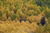 Evergreen among yellow and green aspens in the fall, Uncompahgre National Forest, Colorado, United States of America, North Amer 20025376945| 写真素材・ストックフォト・画像・イラスト素材|アマナイメージズ
