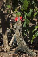 Large Black Ctenosaur or Iguana Negra eating red Hibiscus flower near Nosara, Nicoya Peninsula, Guanacaste Province, Costa Rica 20025377225| 写真素材・ストックフォト・画像・イラスト素材|アマナイメージズ