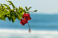 Hibiscus flower at popular Playa Guiones beach, Nosara, Nicoya Peninsula, Guanacaste Province, Costa Rica, Central America 20025377259| 写真素材・ストックフォト・画像・イラスト素材|アマナイメージズ