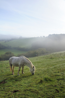 Welsh mountain pony (Equus caballus) grazing a hillside meadow on a foggy autumn morning, Box, Wiltshire, England, United Kingdo 20025377461| 写真素材・ストックフォト・画像・イラスト素材|アマナイメージズ