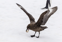 Adult Antarctic skua (Catharacta spp) steals a penguin egg from its parent, Aitcho Island, South Shetland Islands, Antarctica, S 20025377643| 写真素材・ストックフォト・画像・イラスト素材|アマナイメージズ