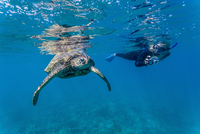 Green sea turtle (Chelonia mydas) underwater with snorkeler, Maui, Hawaii, United States of America, Pacific 20025377688| 写真素材・ストックフォト・画像・イラスト素材|アマナイメージズ