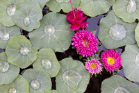 Nasturtium leaves with water droplets, Fuscia and other pink flowers floating on a pond, Kalaw, Myanmar (Burma), Southeast Asia 20025377870| 写真素材・ストックフォト・画像・イラスト素材|アマナイメージズ