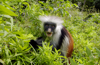Zanzibar Red Colobus monkey, one of Africa