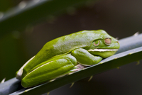 White-Lipped Green Tree Frog on palm leaf, Daintree World Heritage Rainforest, Queenland, Australia 20025379335| 写真素材・ストックフォト・画像・イラスト素材|アマナイメージズ