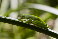 White-Lipped Green Tree Frog on palm leaf in Daintree Rainforest, Queenland, Australia 20025379415| 写真素材・ストックフォト・画像・イラスト素材|アマナイメージズ