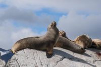 South American sea lion (Otaria flavescens), Beagle Channel, Argentina, South America