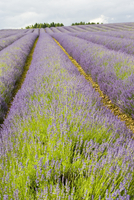 Snowshill lavender field, Worcestershire, United Kingdom The Cotswolds 20025380473| 写真素材・ストックフォト・画像・イラスト素材|アマナイメージズ