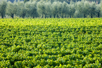Vines and olive grove of traditional olive trees near Montalcino in Val D