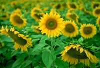 Sunflower plants in the Loire Valley in France 20025380634| 写真素材・ストックフォト・画像・イラスト素材|アマナイメージズ