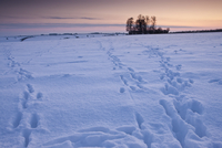 Animal tracks across the field in traditional snow scene in The Cotswolds, Swinbrook, Oxfordshire, United Kingdom 20025380651| 写真素材・ストックフォト・画像・イラスト素材|アマナイメージズ