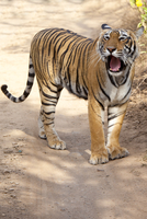 Female Bengal tiger, Panthera tigris tigris, in Ranthambore National Park, Rajasthan, India 20025380905| 写真素材・ストックフォト・画像・イラスト素材|アマナイメージズ