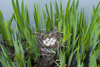 Moorhen's nest, with seven eggs laid, made with twigs among iris plants in a pond in Swinbrook, the Cotswolds, Oxfordshire, UK 20025381047| 写真素材・ストックフォト・画像・イラスト素材|アマナイメージズ