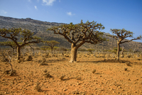 Frankincense trees (Boswellia elongata), Homil Protected Area, island of Socotra, UNESCO World Heritage Site, Yemen, Middle East 20025382373| 写真素材・ストックフォト・画像・イラスト素材|アマナイメージズ
