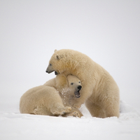 Polar Bear Cubs Playing On Newly Formed Pack Ice