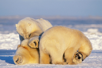 Polar Bear Sows and Large Cub Playing Together