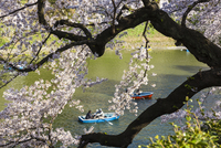 Blooming Cherry Trees and Rowing Boats along Moat, Kitanomaru Park near the Imperial Palace, Chiyoda, Tokyo, Japan 20025394372| 写真素材・ストックフォト・画像・イラスト素材|アマナイメージズ