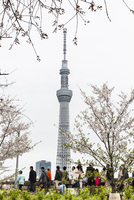 People by Blooming Cherry Trees in front of Tokyo Skytree, Sumida, Tokyo, Japan 20025394380| 写真素材・ストックフォト・画像・イラスト素材|アマナイメージズ