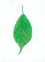 桜の葉 20041000167| 写真素材・ストックフォト・画像・イラスト素材|アマナイメージズ