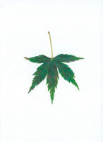 もみじの葉 20041000182| 写真素材・ストックフォト・画像・イラスト素材|アマナイメージズ