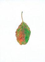 クスノキの落葉 20041000207| 写真素材・ストックフォト・画像・イラスト素材|アマナイメージズ