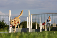 Mongrel (Canis lupus familiaris) jumping over hurdle at obstacle course. (Photo by: Arterra/UIG) 20053015743| 写真素材・ストックフォト・画像・イラスト素材|アマナイメージズ