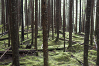 Second growth hemlock and fir trees grow out of a moss carpeted forest floor. 20055019284| 写真素材・ストックフォト・画像・イラスト素材|アマナイメージズ
