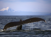 Humpback whale tail with Mount Rainier in the distance 20055022459| 写真素材・ストックフォト・画像・イラスト素材|アマナイメージズ