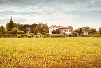 A field of young corn plants, numerous trees and a building in the back 20055035633| 写真素材・ストックフォト・画像・イラスト素材|アマナイメージズ