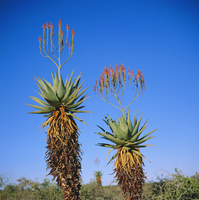 Aloe species in the desert on the border of Botswana and Namibia, Africa 20062009375| 写真素材・ストックフォト・画像・イラスト素材|アマナイメージズ
