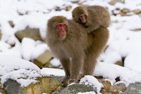 Japanese macaque (Macaca fuscata) (Snow monkey), mother carrying baby through the snow, Joshin-etsu National Park, Honshu, Japan 20062012241| 写真素材・ストックフォト・画像・イラスト素材|アマナイメージズ