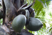 Giant fruit of coco de mer palm (Lodoicea maldivica) in the Vallee de Mai Nature Reserve, UNESCO World Heritage Site, Baie Saint 20062019237| 写真素材・ストックフォト・画像・イラスト素材|アマナイメージズ