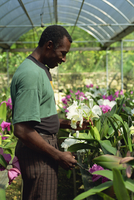 Supervisor tending orchids for export, Golden Orchid Nursery, Laboule, Haiti, West Indies, Central America 20062022113| 写真素材・ストックフォト・画像・イラスト素材|アマナイメージズ