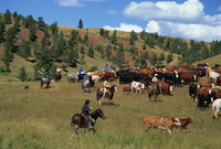 Cattle round-up in high pasture, Lonesome Spur Ranch, Lonesome Spur, Montana, United States of America, North America 20062022132| 写真素材・ストックフォト・画像・イラスト素材|アマナイメージズ