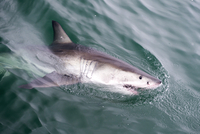 Great white shark (Carcharodon carcharias) at the surface at Kleinbaai in the Western Cape, South Africa, Africa 20062022182| 写真素材・ストックフォト・画像・イラスト素材|アマナイメージズ