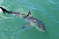 Satellite tagged great white shark (Carcharodon carcharias), Gansbaai, Klein Bay, Western Cape, South Africa, Africa 20062022188| 写真素材・ストックフォト・画像・イラスト素材|アマナイメージズ