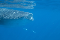 Whale shark (Rhincodon typus) feeding at the surface on zooplankton, mouth open, known as ram feeding, Yum Balam Marine Protecte 20062022285| 写真素材・ストックフォト・画像・イラスト素材|アマナイメージズ