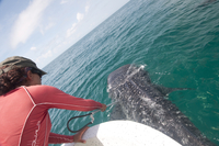 Biologist taking skin sample from a whale shark to determine what plankton types the animal has been feeding on, Yum Balam Marin