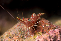 Hinge beak shrimp (Hinge beak prawn) (Rhynchocinetes sp.) emerges to feed at night, Matangi Island, Vanua Levu, Fiji, Pacific 20062022382| 写真素材・ストックフォト・画像・イラスト素材|アマナイメージズ